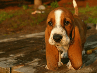 Puppy, Just, and Little: <p>Just a little basset puppy.</p>